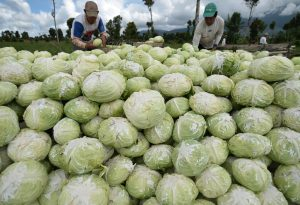 Petani mengumpulkan sayur kol hasil panen di lahan pertanian Koto Panjang, Kayu Aro, Kerinci, Jambi, Sabtu (16/5).